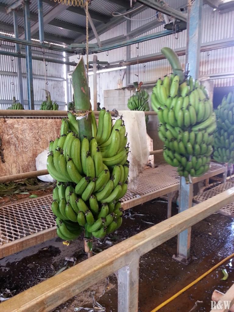 Des bunchs ou régimes de bananes qui entrent dans la chaîne d'emballage