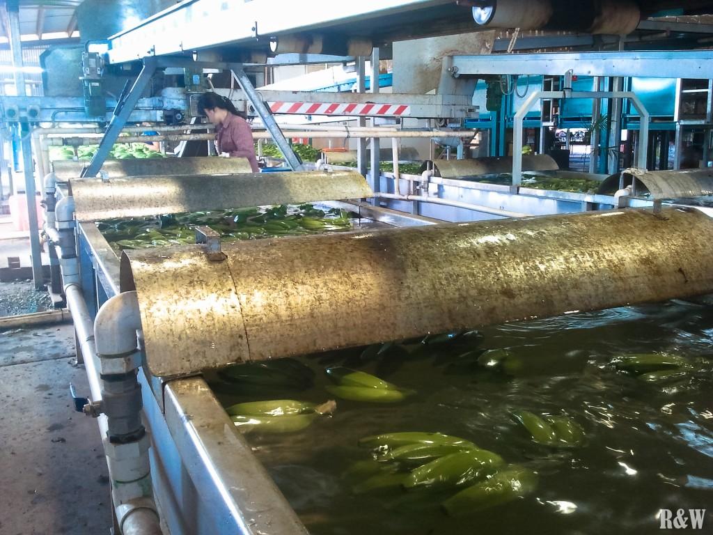 Les bananes en début de chaîne, qui flottent dans l'eau.