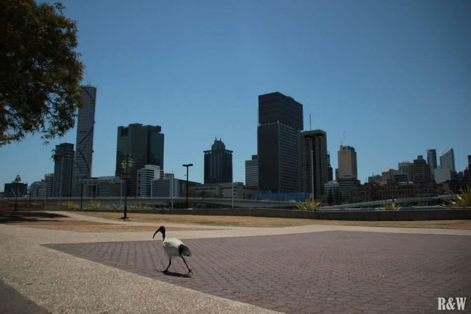 Brisbane et ses hibis