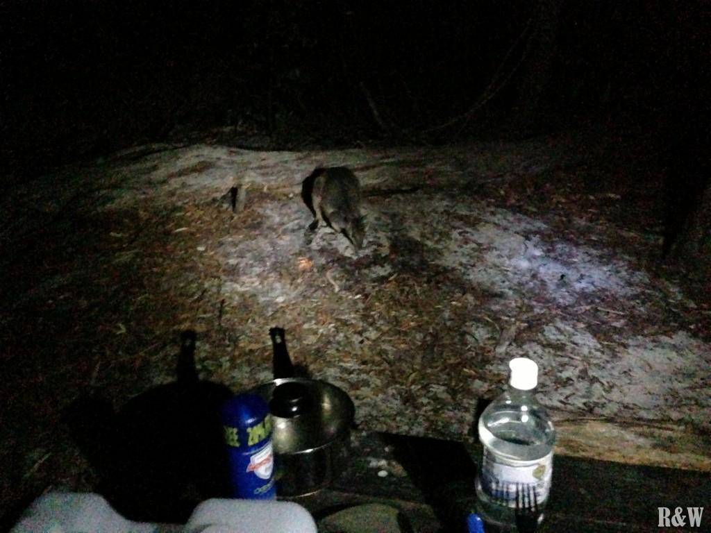 Un ami wallaby pour le dîner