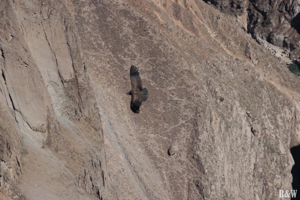 Un condor des Andes