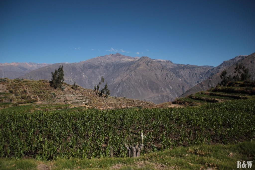Les champs de maïs péruviens