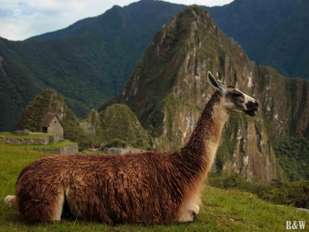 Des lamas au Pérou et au Machu Picchu