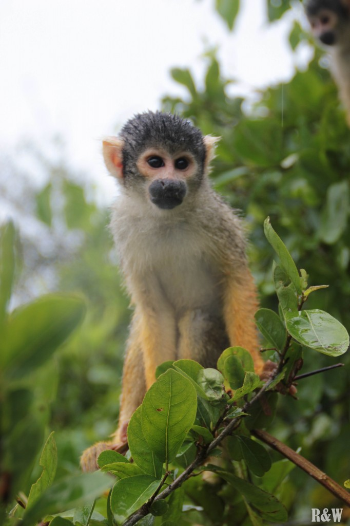 La faune du bassin amazonien, un petit singe nous salut