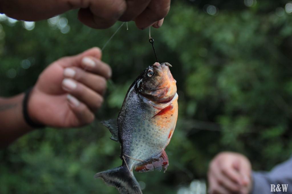 Pequino Piranha