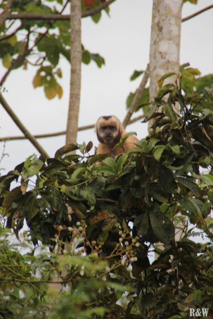 Un singe capuccino